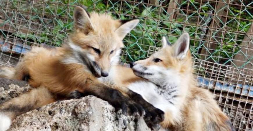 日本東北藏王狐狸村