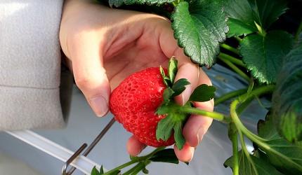 宮城亘理 草莓園
