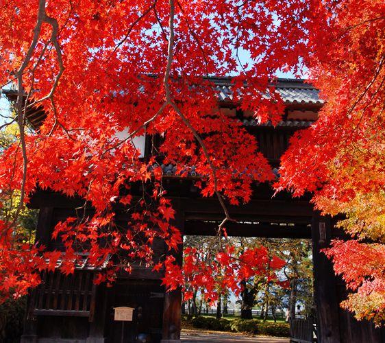 壁纸 枫叶 红枫 树 562_500图片
