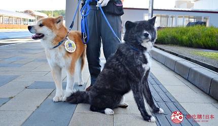 秋田縣大館市在大館能代機場迎接旅客的秋田犬