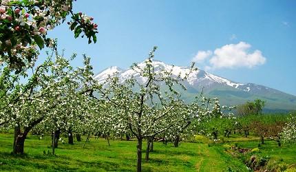 日本青森弘前的苹果花祭(弘前りんご花まつり)之二