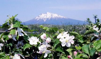 日本青森弘前的苹果花祭(弘前りんご花まつり)之一