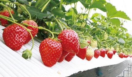 来青森边玩边吃!青森苹果园、采果体验总整理,苹果、草莓、樱桃通通有