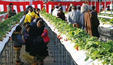 アグリの里おいらせ高台栽培草莓