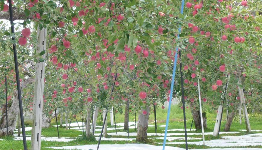 青森観光りんご園青森觀光蘋果園內景色