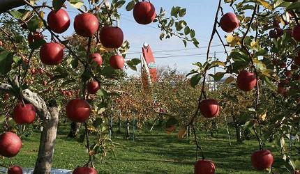 青森蘋果山丘果園