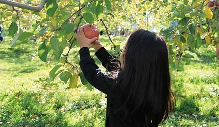 青森弘前蘋果公園內小孩採果