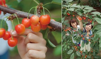 青森八戶市採櫻桃