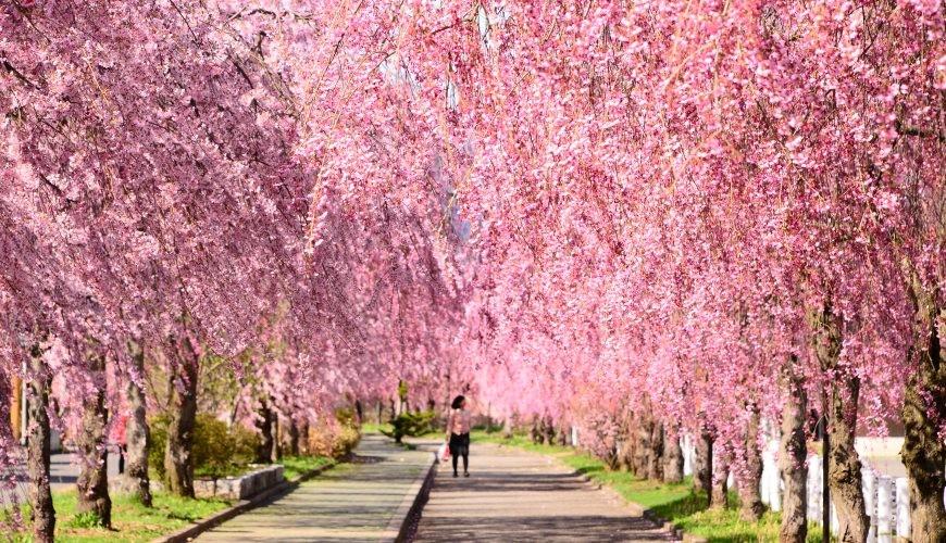 東北自駕景點tep福島喜多方櫻花季