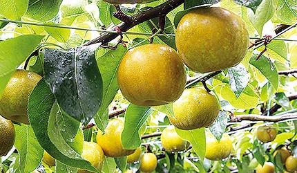 冬季東北景點推薦宮城縣藏王採水果體驗