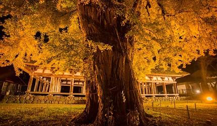 东北福岛会津喜多方市新宫熊野神社内已有800年树龄的银杏树