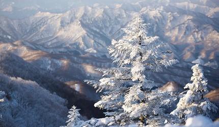 日本東北福島會津高原的Takatsue滑雪場內每逢冬天都可以看到的樹冰